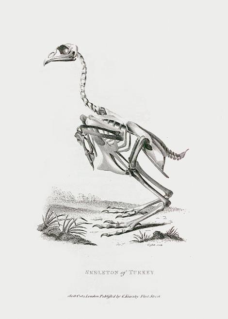 Skeleton of Turkey