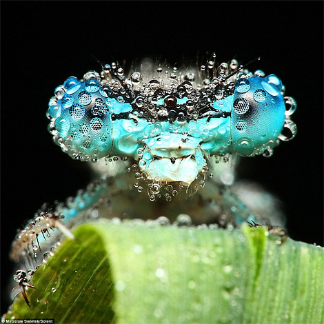 Dewy-eyed insects