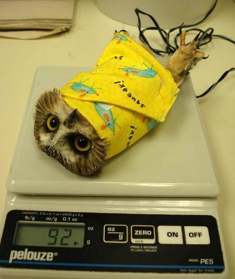 Owl burrito