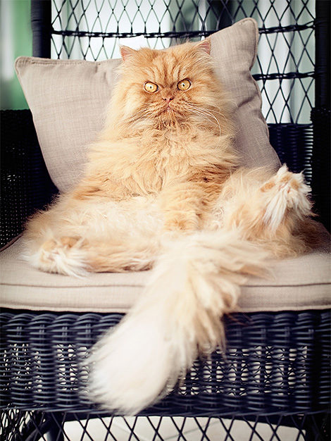 Garfi, the World's angriest cat