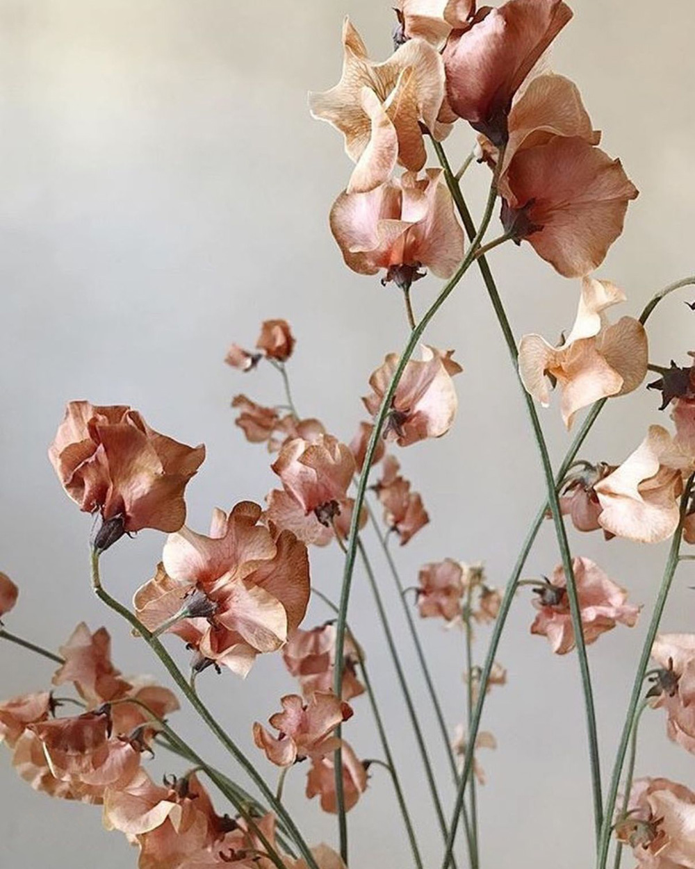 Brown Sweet Pea
