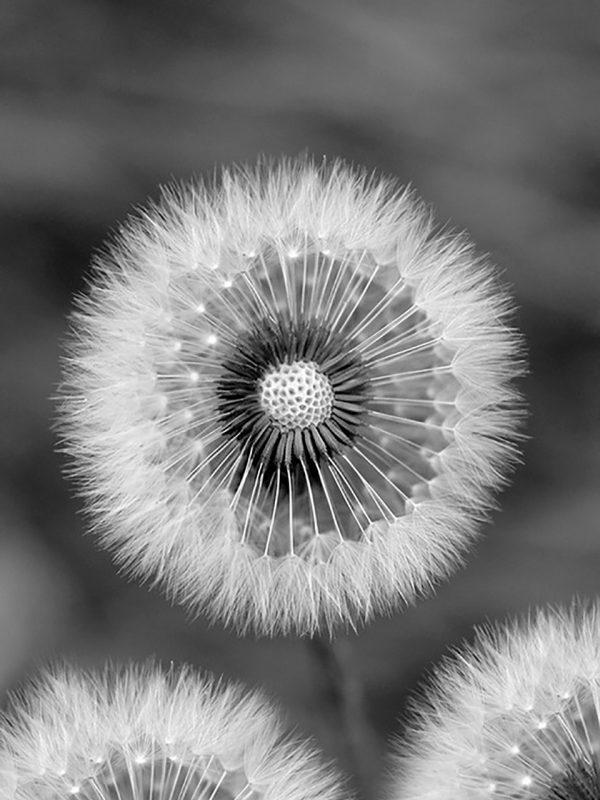 Filamentous Achenes