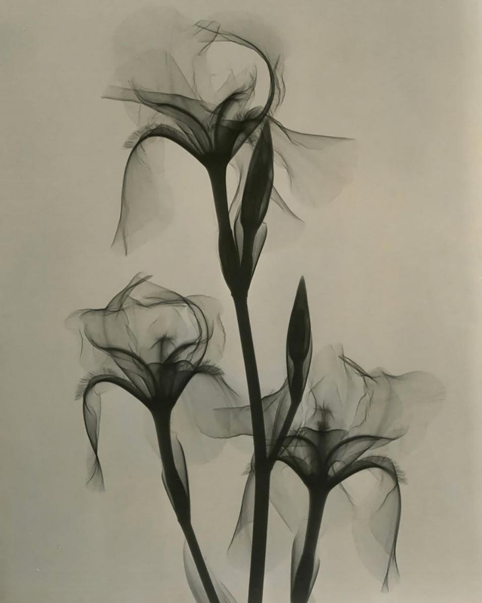 Bearded Iris x Dr Dain Tasker