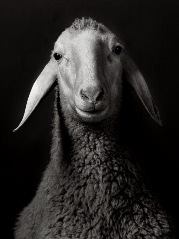 Sheep x Walter Schels