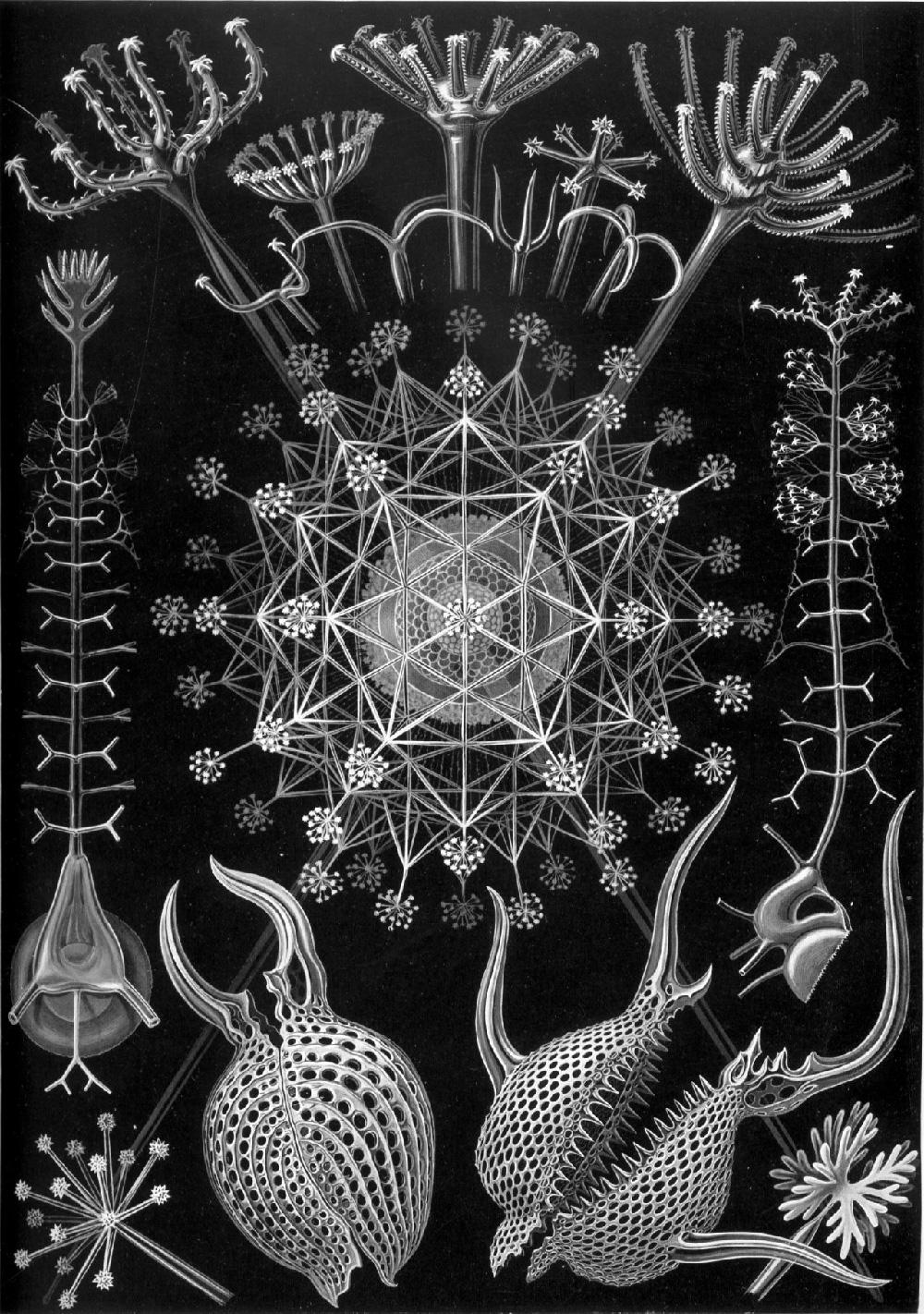 Phaeodaria–Rohrstrahlinge
