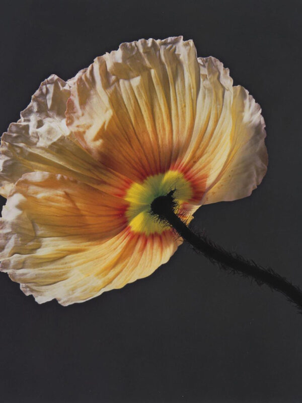 Poppy x Robert Mapplethorpe