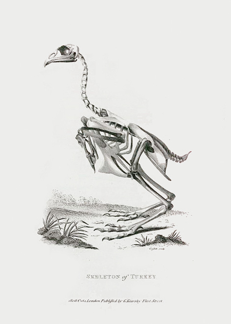 Skeleton of Turkey
